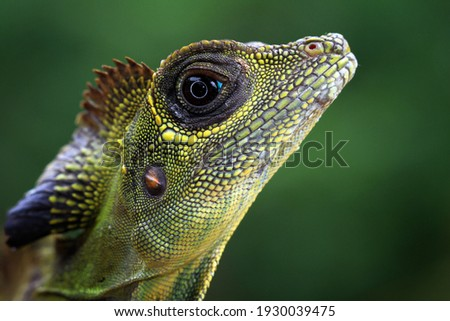 Great angle head lizard closep head,  Indonesian reptile Foto stock ©