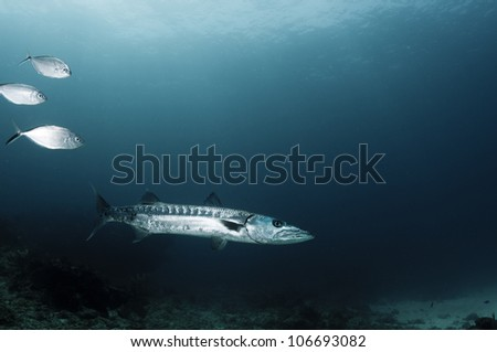 Great Barracuda in deep water in the Caribbean