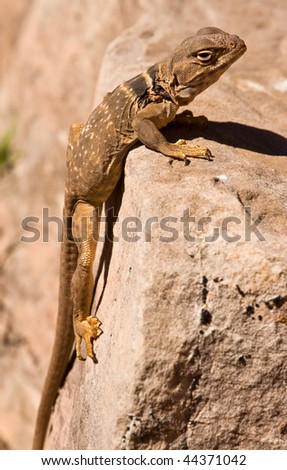 Great Basin Collared Lizard - stock photo