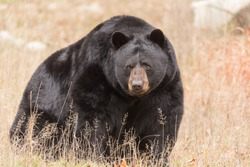 Great Big Black Bear