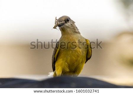 Great-billed bird (Pitangus sulphuratus), with bugs in its beak to treat its young in the nest, considered one of the most popular birds in Brazil, is one of the first to vocalize at dawn.