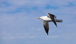 Great black-backed gull. White seagull flying in cloudy sky, closeup photo