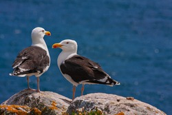 Great black-backed gulls (Larus marinus) standing on rocks looking out to blue sea North Atlantic ocean. Two seabirds largest gulls at Irish coast, Saltee Islands, Ireland, Europe