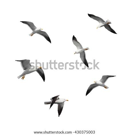 Great black-backed gulls. Set of big flying seagulls isolated on white background