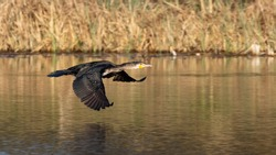Great black cormorant (Phalacrocorax carbo) flying over water with reed as background in germany