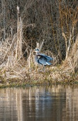 Great blue heron, a very common waterside bird in north america, looking for foods at lakeside bush.