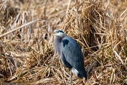 Great blue heron, a very common waterside bird in north america, resting at lakeside bush.