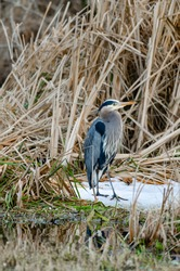 Great blue heron, a very common waterside bird in north america, resting at lakeside marsh.