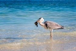 Great Blue Heron (Ardea herodias) Eating a tropical Fish