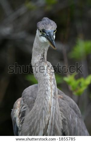 Great blue heron (Ardea herodias), Everglades National Park, Florida