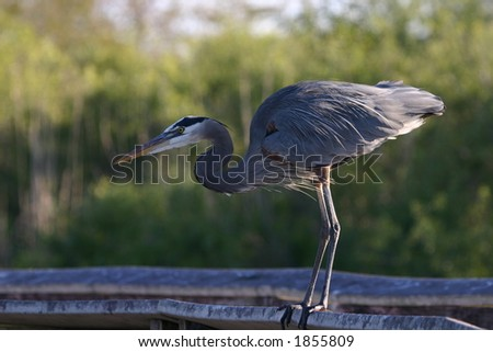 Great blue heron (Ardea herodias), Everglades National Park, Florida