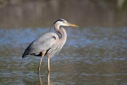 Great Blue Heron (Ardea herodias) - Fort Myers Beach, Florida
