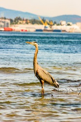 Great Blue Heron Ardea herodias - Fort Myers Beach, Florida