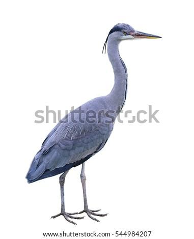 Great Blue Heron (Ardea herodias) isolated on white background.
