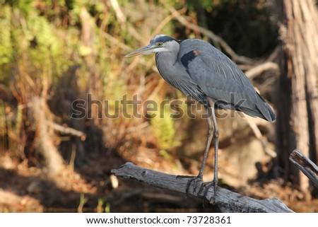 Great Blue Heron (Ardea herodias) on the banks of the Suwannee River - Okefenokee Swamp, Georgia