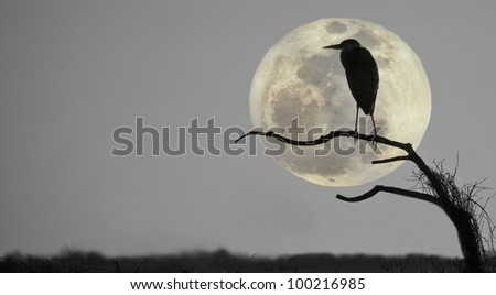 Great blue heron, ardea Herodias, profiled against sky and rising full moon