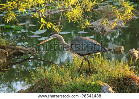 Great Blue Heron (Ardea herodias) Stalking its Prey at Dawn - Everglades National Park, Florida
