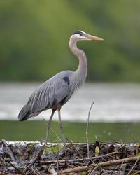 Great Blue Heron (Ardea herodias) Stalking its Prey from a Beaver Dam - Grand Bend, Ontario
