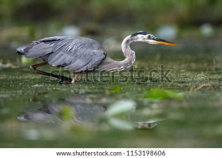 Great Blue Heron (Ardea herodias) stalking its prey in a shallow river - Pinery Provincial Park, Ontario, Canada