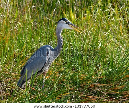 Great Blue Heron (Ardea herodias) waiting for his next meal in the Florida Everglades - stock photo