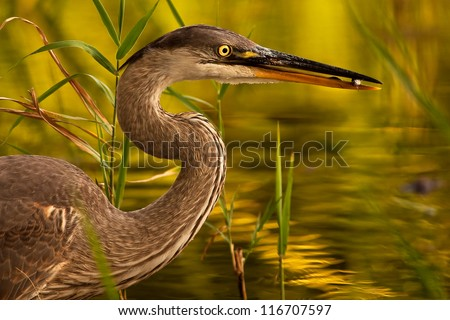 Great blue heron (Ardea herodias) with fish among vegetation. Montreal, Quebec, Canada, North America.