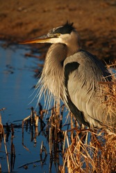 Great Blue Heron at sunset in the marshes on Assateague Island, Virginia