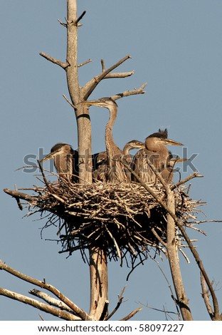Great Blue Heron Babies in the Nest