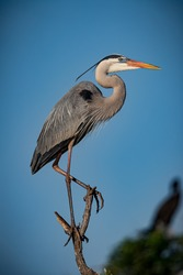 Great blue heron balances on top of tree branch at Venice Rookery.