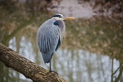 Great blue heron bird perched on a log hunting over a river bed in winter at Riverbend Park in Northern Virginia