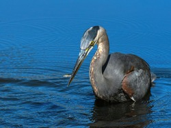 Great blue heron catches fish