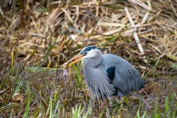 Great blue heron caught a frog for dinner, a very common waterside bird in north america.