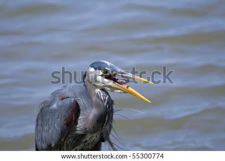 Great blue heron feeding on fish