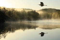 Great Blue Heron flies over foggy lake at dawn
