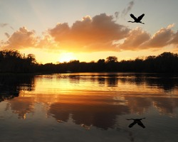Great Blue Heron Flies Over River as the Sun Sets