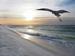Great Blue Heron Flies Over White Sand Florida Beach at Sunrise