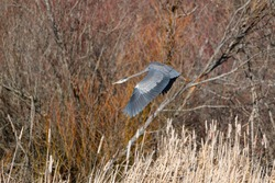 Great blue heron flying gracefully, a very common waterside bird in north america.