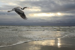 Great Blue Heron Flying Over the Beach with Approaching Storm