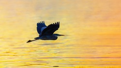 Great Blue Heron Glides over Golden Water at Sunrise
