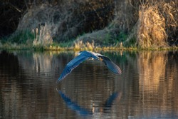 Great blue heron gliding in the air gracefully, a very common waterside bird in north america.