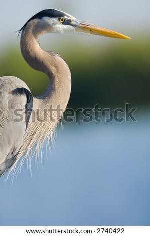 great blue heron head shot, everglades national park