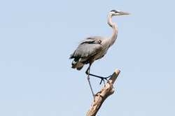 Great blue heron hunting for fish