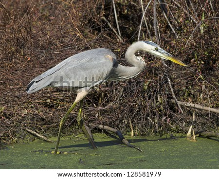Great Blue Heron hunting in a swamp.