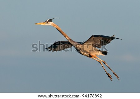 Great blue heron in flight at the Ritch Grissom Memorial Wetlands (often referred to as the Viera Wetlands) in Melbourne, Florida