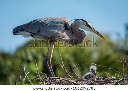 Great blue heron in her nest with her baby