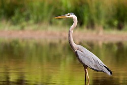 great blue heron in the evening