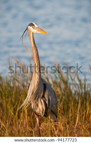 Great blue heron in the reeds at the Ritch Grissom Memorial Wetlands (often referred to as the Viera Wetlands) in Melbourne, Florida