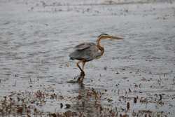 Great blue heron is trying to showoff