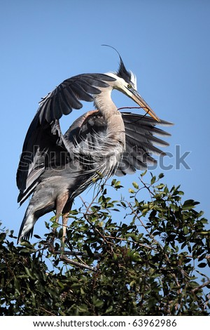 Great Blue Heron landing at a rookery in Venice, Florida. - stock photo