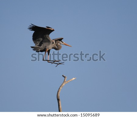 Great Blue Heron landing on Tree