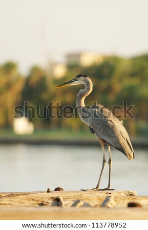 Great Blue Heron on a Jetty